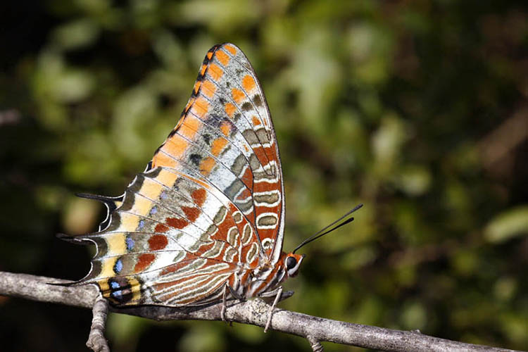 Two-tailed pasha. Butterflies of Menorca guide