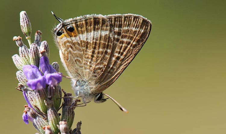Long-tailed blue. Butterflies of Menorca guide