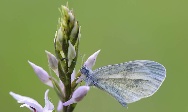 Wood white. Guide of butterflies of Menorca